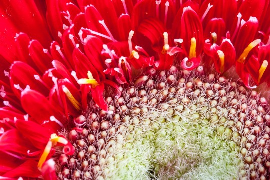 La flor roja descubre su complejidad al fotografiarla con un Canon EF-S 60 Macro, © mateoht 1990-2013 - http://lafotodeldia.net