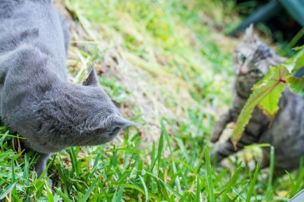 Mi gata Miniyo expulsa a un gato en su casa, Alcàsser - © mateoht 1990-2013 - http://lafotodeldia.net