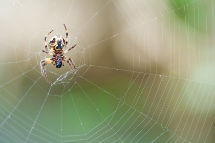 Tela de araña en proceso de fabricación. Es asombrosamente rápido. © mateoht 1990-2013 - http://lafotodeldia.net