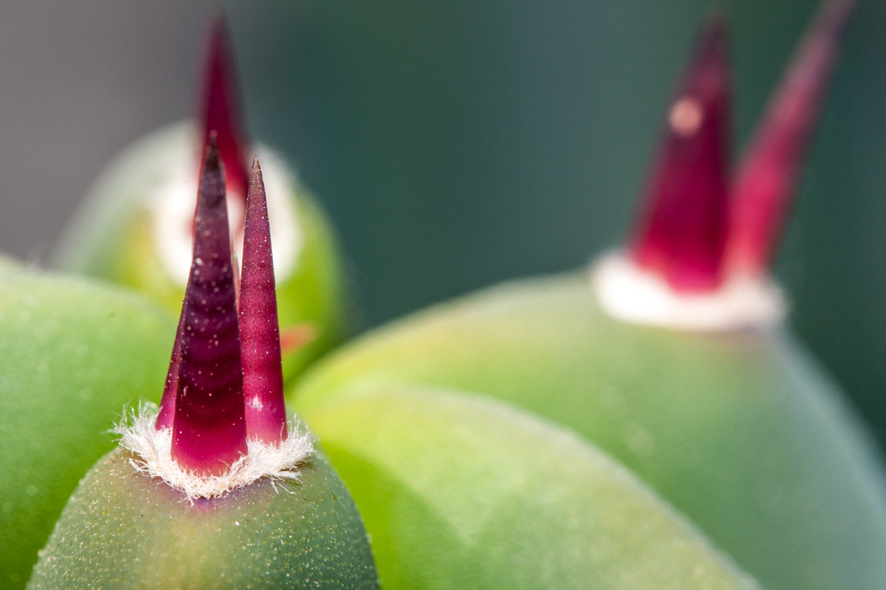 Las flores de cactus son muy sutiles. Esconden formas interesantes