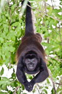 Mono congo macho en Curú, Costa Rica, Océano Pacífico. © mateoht 1990-2013 - http://lafotodeldia.net