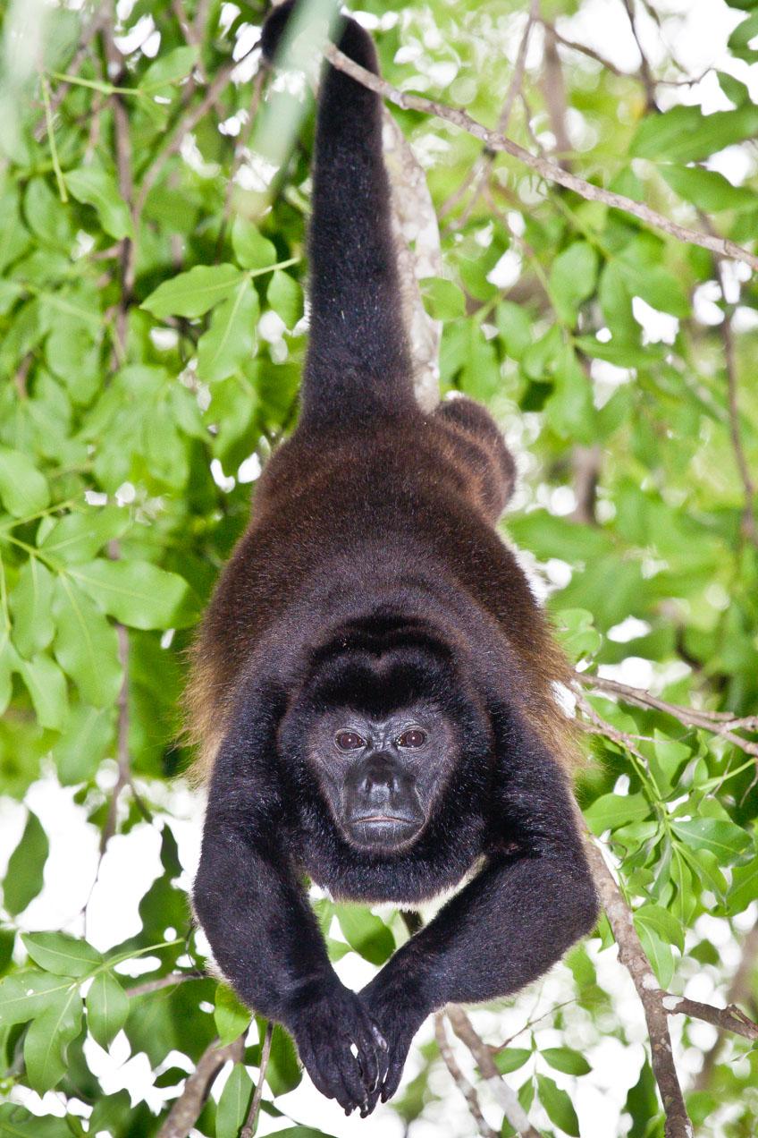 Mono congo macho en Curú, Costa Rica, Océano Pacífico