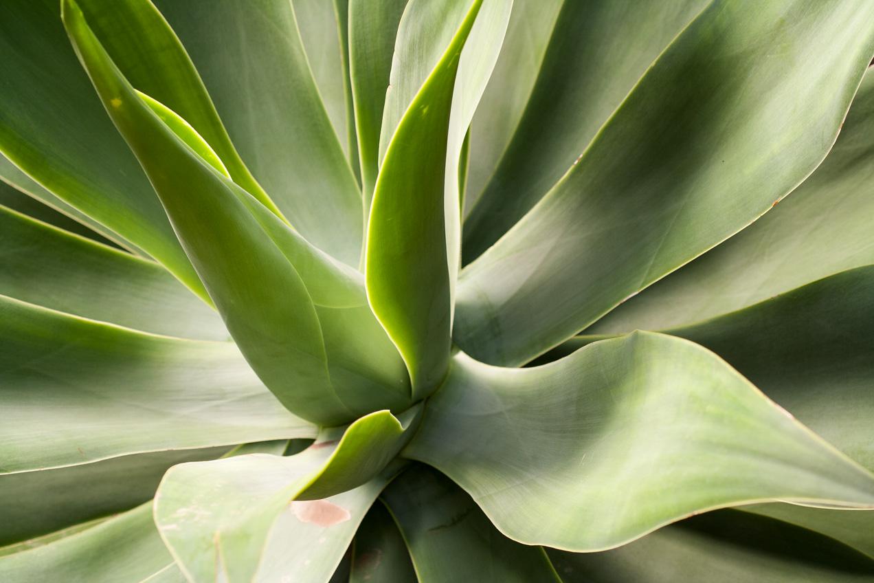 La luz moldea las formas de esta planta crasa