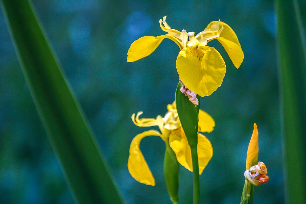 Lirios amarillos en primavera en las montañas cercanas a Bunyol, Valencia