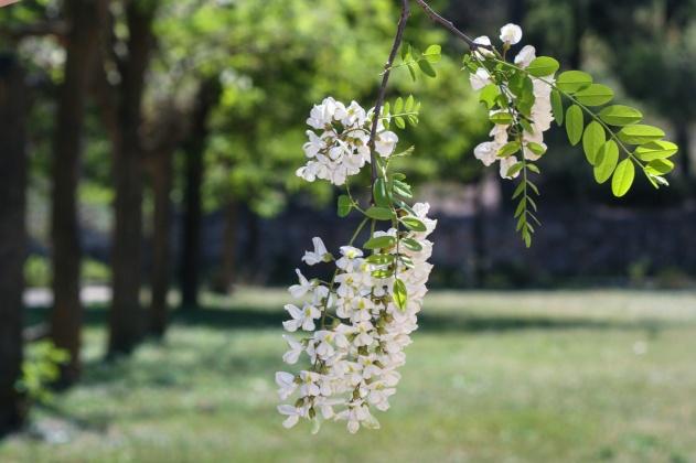 Flores en el arbol en primavera, en Bunyol, Valencia. © mateoht 1990-2013 - http://lafotodeldia.net