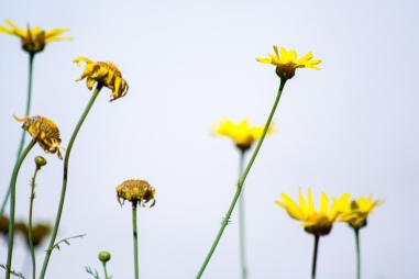 Flores amarillas en primavera, Alcasser, Valencia