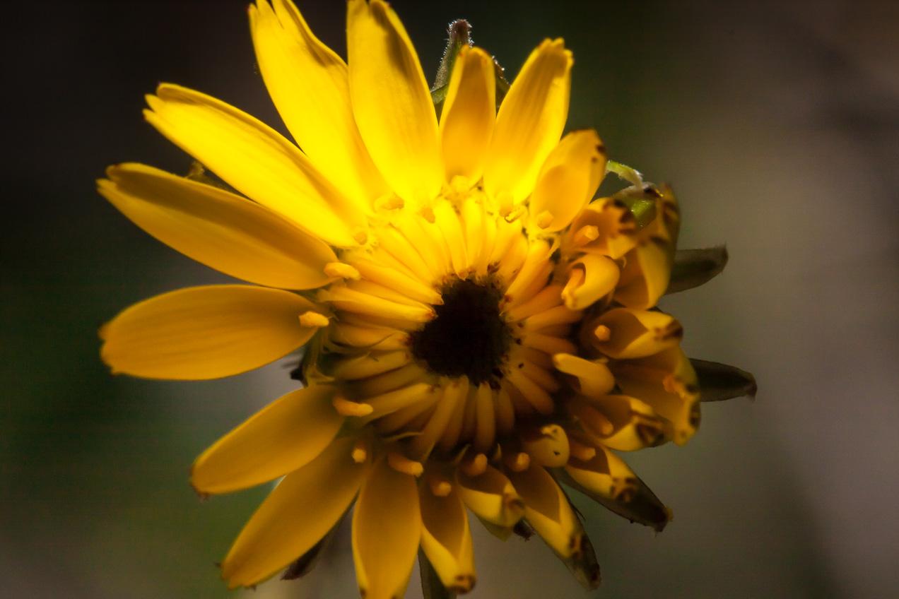Flor amarilla del jardín de casa, en Alcasser, Valencia