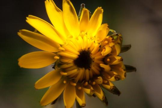 Flor amarilla del jardín de casa, en Alcasser, Valencia. © mateoht 1990-2013 - http://lafotodeldia.net