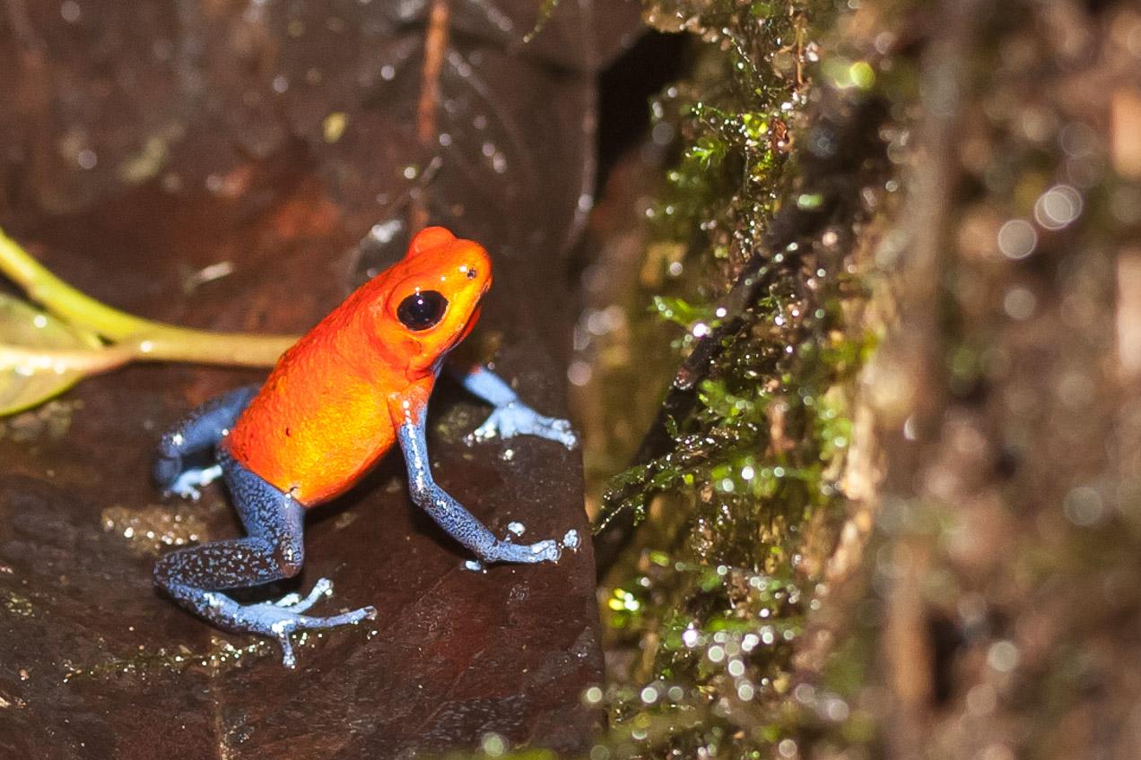 Rana tropical Blue Jeans. Vive en el bosque húmedo de Costa Rica y Centroamérica