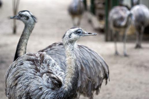 Avestruces en el zoo de Amsterdam. © mateoht 1990-2013 - http://lafotodeldia.net