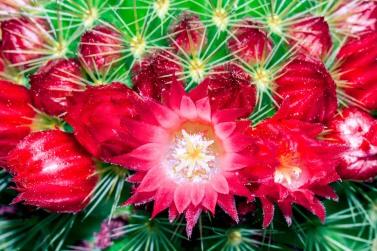 Flor de cactus. © mateoht 1990-2013 - http://lafotodeldia.net