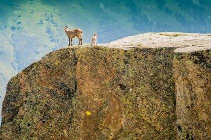 Cabras salvajes enChamonix, Francia. © mateoht 1990-2013 - http://lafotodeldia.net