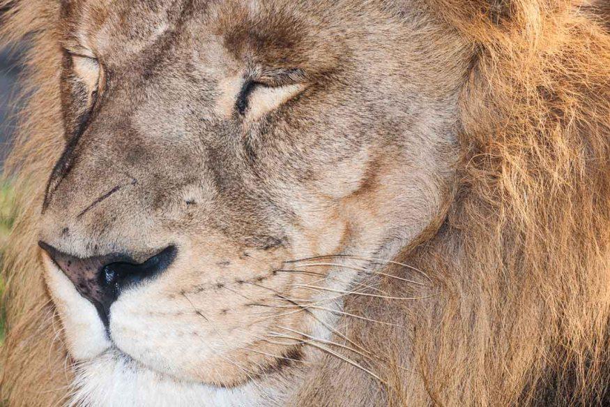 León en el Biopark, Valencia. © mateoht 1990-2013 - http://lafotodeldia.net