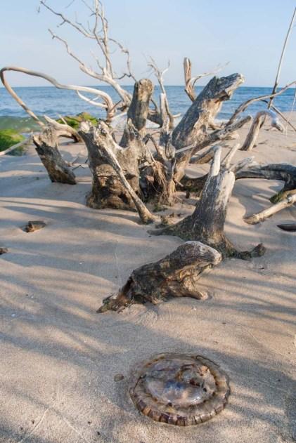 Medusa en una playa de Arles, Francia. © mateoht 1990-2013 - http://lafotodeldia.net
