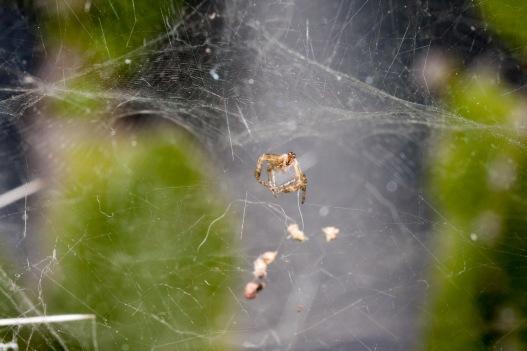 Araña tejiendo la tela. © mateoht 1990-2013 - http://lafotodeldia.net