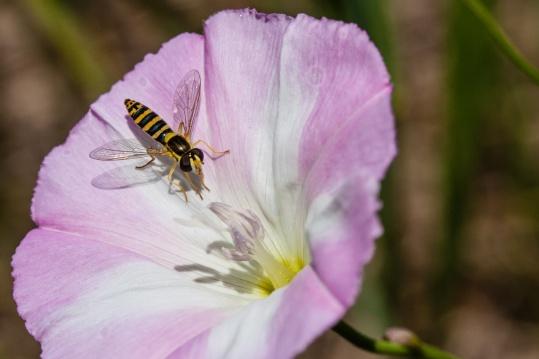 Avispa en una flor. © mateoht 1990-2013 - http://lafotodeldia.net