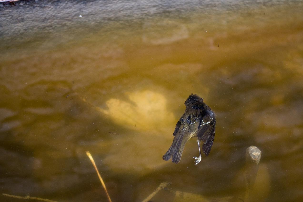 Pájaro muerto en una charca. © mateoht 1990-2013 - http://lafotodeldia.net