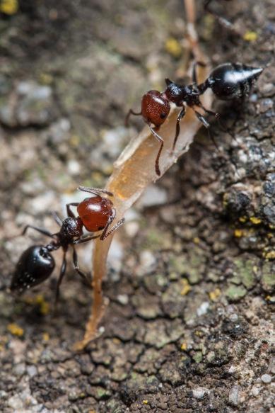 Hormigas recogiendo comida. © mateoht 1990-2013 - http://lafotodeldia.net