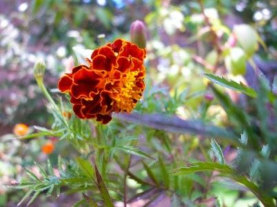 Flor en jardín, La Bourboulle, Francia. © mateoht 1990-2013 - http://lafotodeldia.net