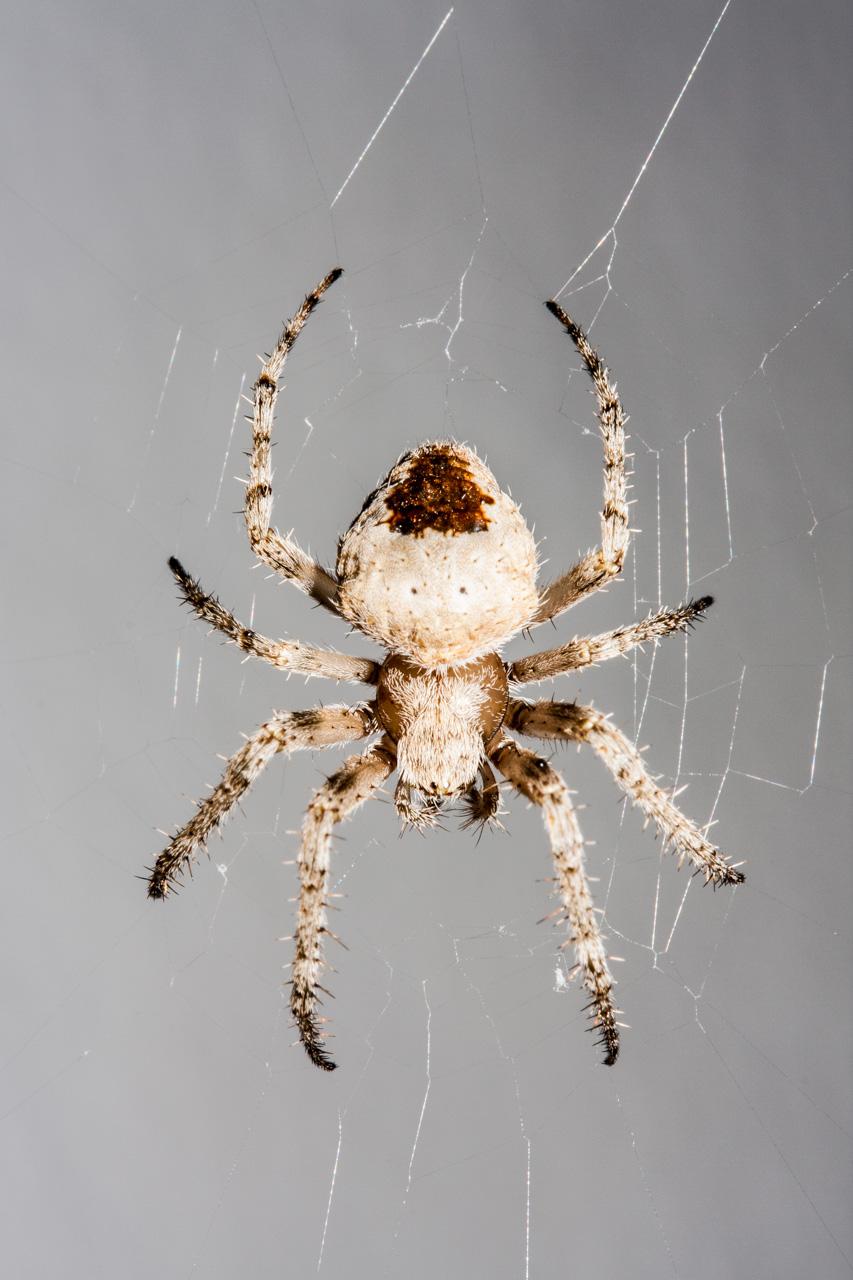 Araña fabricando su tela. © mateoht 1990-2014 - http://lafotodeldia.net