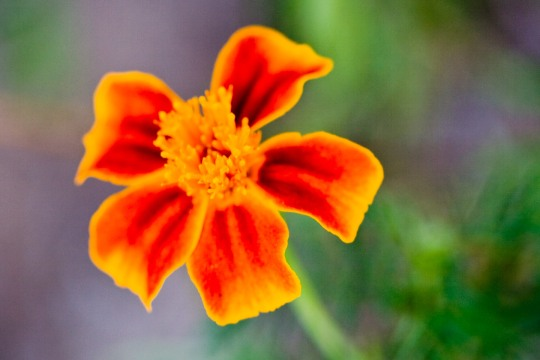 Flor en Biar, Alicante © mateoht 1990-2014 - http://lafotodeldia.net