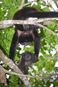 Monos Congo en Curú, Costa Rica. © mateoht 1990-2014 - http://lafotodeldia.net