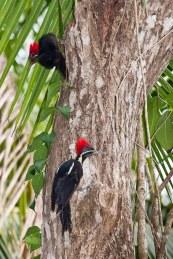 Pájaros carpinteros en Costa Rica. © mateoht 1990-2014 - http://lafotodeldia.net